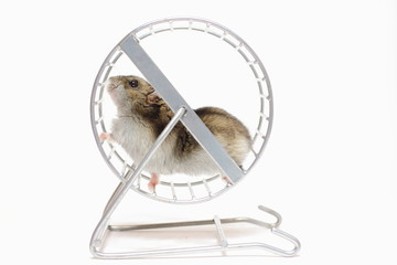 Pet hamster runs in the wheel