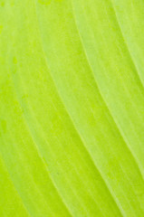 line of leaves banana tree