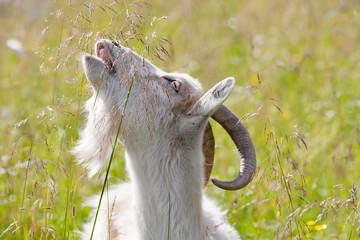 she-goat