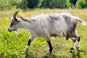 running nanny-goat