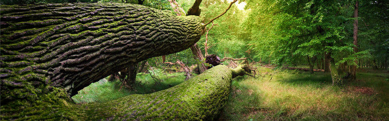 Panoramic image of fallen tree in the forest Wall mural