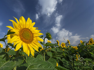 Sunflowers bloom in summer under a beautiful sky