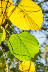 Yellow and green leaves of lime tree