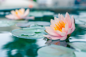 Wall Murals Lotus flower A beautiful pink waterlily or lotus flower in pond