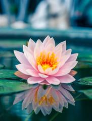 Garden Poster Lotus flower A beautiful pink waterlily or lotus flower in pond