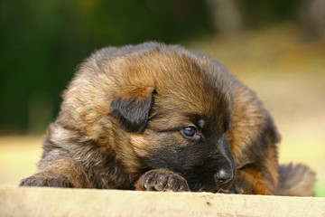 The German Shepherd Dog puppy