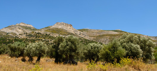 oliviers à Naxos