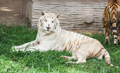 White tiger and orange tiger