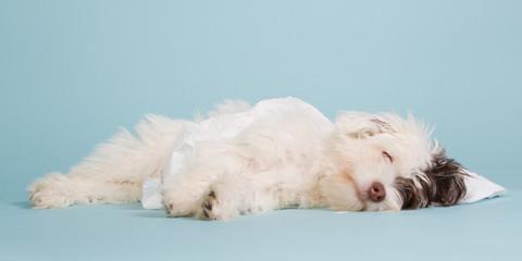 Sleeping boomer puppy