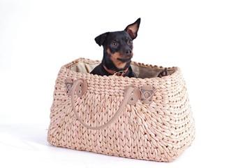 Rehpinscher sitzt in Handtasche