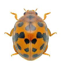 Beetle Ladybird Subcoccinella vigintiquatuorpunctata