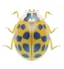 Beetle Ladybird Harmonia axyridis