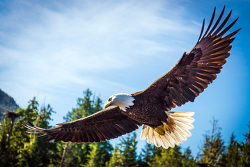 North American Bald Eagle in mid flight, on the hunt