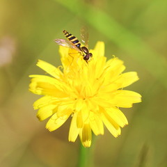 Маленькая полосатая мухп