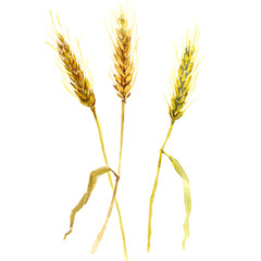 watercolor wheat ears isolated