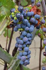 kleine blaue Weintrauben