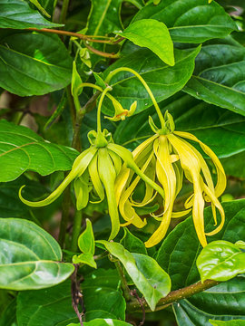 Ylang-Ylang flowers.