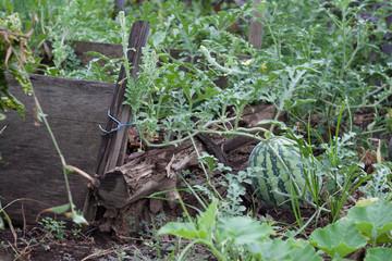 Harvesting watermelon