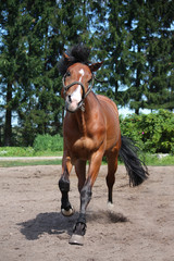 Playful horse galloping free at the field