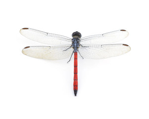 Dragonfly Red isolated on white background