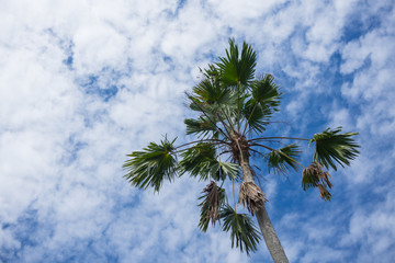 Natural Betel Palm on blue sky