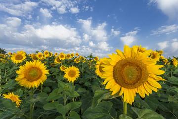 Sunflowers field. The summer light.
