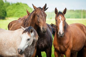 Portrait of  horses on the pasture