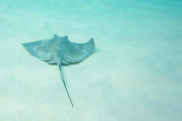 Southern Sting Ray swims along clean ocean floor
