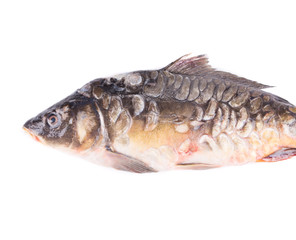 Fresh mirror carp close up.
