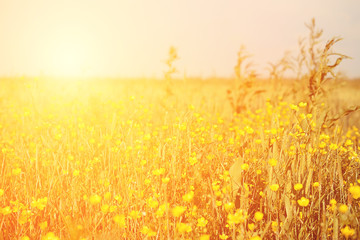 Vintage yellow flower field