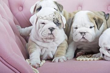 Bunch of cute english bulldog dog puppies on a pink sofa