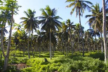 Forêt de coco