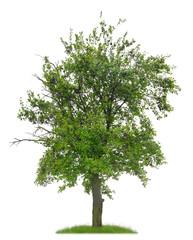 Knorriger Pflaumenbaum mit Früchten vor weißem Hintergrund