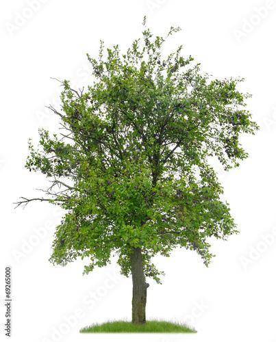 knorriger pflaumenbaum mit fr chten vor wei em hintergrund stockfotos und lizenzfreie bilder. Black Bedroom Furniture Sets. Home Design Ideas