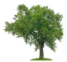 Uralter Birnbaum mit reifen Früchten als Freisteller
