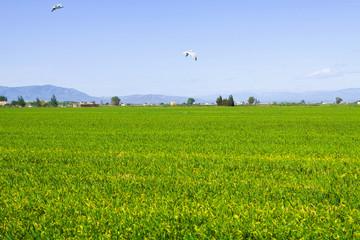 Rice fields at Ebro Delta
