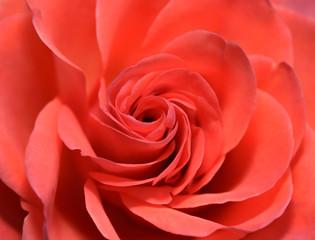 Closeup Macro Shot of Red Rose Flower