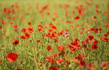 Scarlet poppies at sunny day on field