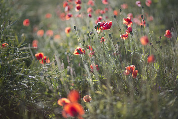 Scarlet poppies at evening light on field