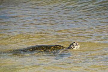 Green Turtle swimming near the shore in Hawaii