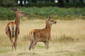 Red Deer, Deer, Cervus elaphus