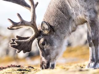 Wild reindeer portrait - Arctic, Spitsbergen