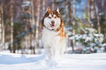 beautiful siberian husky dog running in the snow