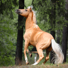 Palomino horse is rearing up in the forest