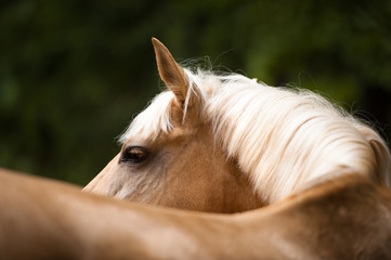 Golden red (palomino) horse with a white mane, portrait close up