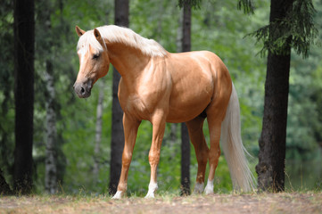 beautiful palomino horse stands in the meadow