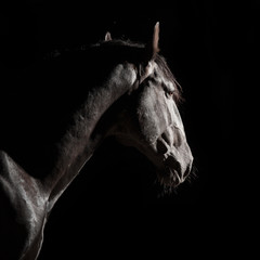 Black Kladruber horse portrait in darkness