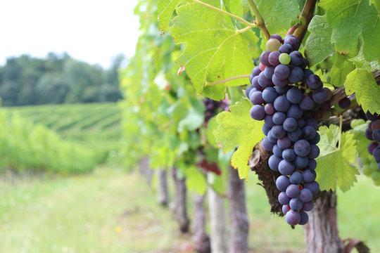 Vigne - Merlot
