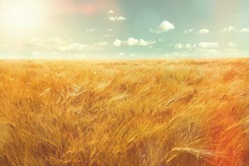 barley field and sunlight