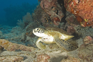 Turtle at Key Largo reef